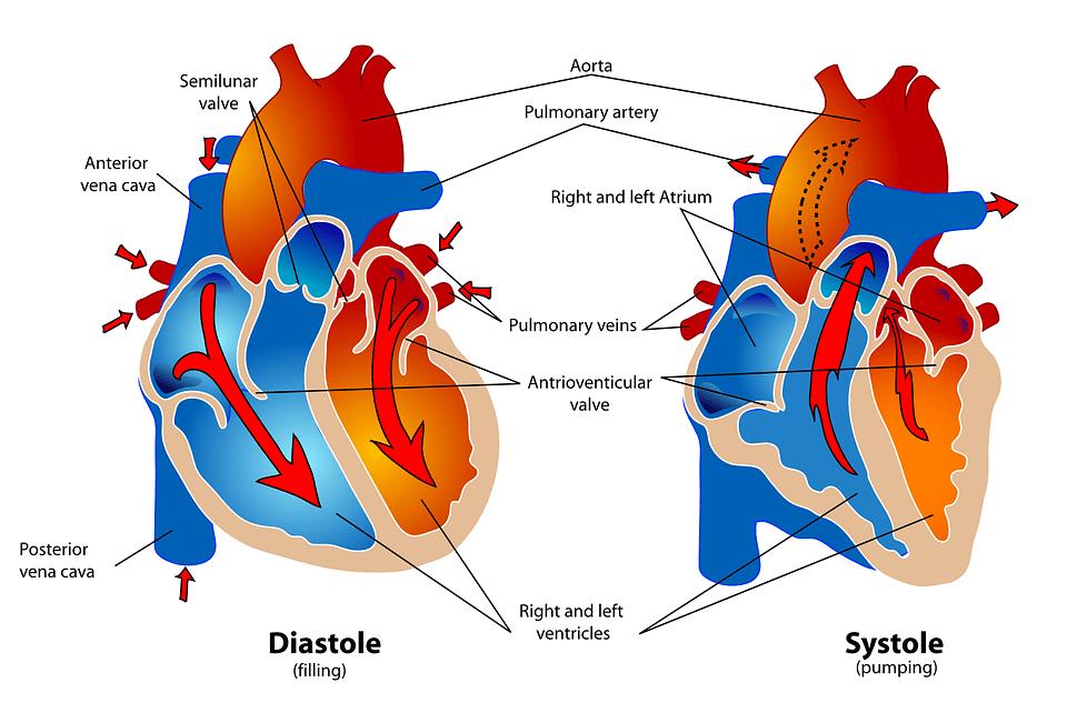 Sistema Cardiovascular Catalogo - Dismundonatural